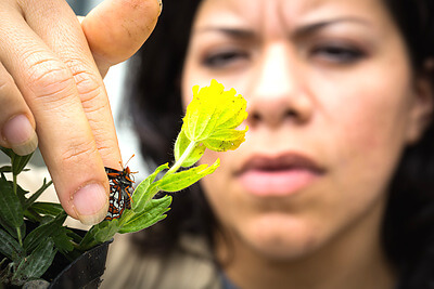 An inmate technician for Sustainability in Prisons Project's Taylor's checkerspot program, Carolina Landa, gently handles an endangered butterfly in the butterfly greenhouse at Mission Creek Corrections Center for Women. Credit: Benjamin Drummond