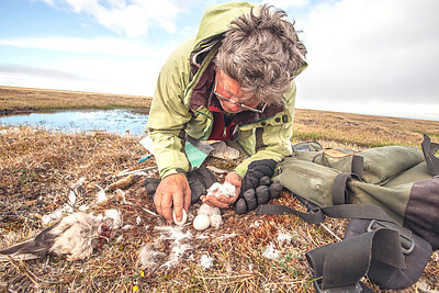 Owl researcher, Denver Holt works over one of this season's snowy owl nests in Barrow, Alaska. Founder and president of the Owl Research Institute, Denver carries a legacy of 25 years of snowy owl research. After much recognition he remains humble and most important, respectful and loving to the tundra and owls. Sharing in his field work is an amazing learning experience. On each nest he measures the captured pray, owlet conditions and egg hatching while cautious parents look over him and sometimes dive bomb to protect their nest. Denver practices a fast and gentle approach to minimally disturb the owl's natural process. I'm documenting Denver's work as part of a story on Arctic researchers. He kindly took me to the three nests this season has to offer. After much hiking in the spongy cold tundra, with temperature around 30F we reached the first nest and discovered these recently hatched owlets. Credit: Florencia Mazza Ramsay