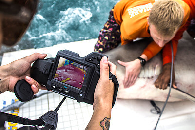 University of Miami Shark Research & Conservation photographer Christopher Brown captured this image of graduate student Jake Jerome safely restraining a bull shark (Carcharhinus leucas) while Dr. Natascha Wosnick used a Flir T420 thermal imaging camera to analyze the influence of solar irradiation on shark recovery. Dr. Wosnick's current research efforts include evaluating how the exposure to air temperature can influence the post-release thermal dynamics of coastal shark species. Credit: Christopher Brown