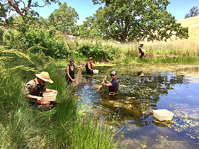 Summer field researchers from the Johnson Lab at the Department of Ecology and Evolutionary Biology in the University of Colorado, Boulder are pictured at the University of California Blue Oak Ranch Reserve conducting aquatic sampling of amphibians and their parasites as part of a study to explore how multi-host, multi- pathogen interactions drive infection dynamics in complex communities and landscapes. Graduate and undergraduate assistants from left to right Neal Handloser, Mary Jade Farruggia, Meg Summerside, Evan Esfahani and Travis McDevitt-Galles. Credit: Mike Hamilton